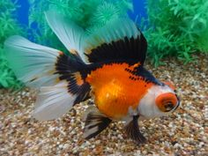 Hi I'm Jeff. You got a peek of some of the ultra cool goldfish I raise and breed. These are parent fish to the fish available you can. Comet Goldfish, Fantail Goldfish, Goldfish Tank, Goldfish Bowl, Beautiful Creatures, Animals Beautiful, Pet Fish, Fish Fish, Cool Fish