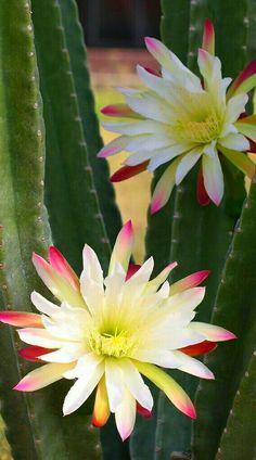 Desert Flowers, Desert Plants, Exotic Flowers, Beautiful Flowers, Succulent Bonsai, Cacti And Succulents, Planting Succulents, Planting Flowers, Orchid Plants