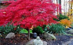 A stunning red Japanese Maple tree. Dense leaves and short height make this a great small tree for lanscaping Red Maple Tree, Front Yard Landscaping, Dwarf Trees For Landscaping, Maple Tree Landscape, Small Space Gardening, Japanese Garden, Trees For Front Yard, Japanese Maple Tree, Rose Trees