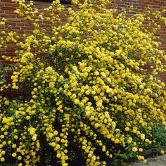 kerria japonica 'pleniflora' - Google Search