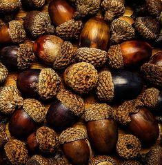 macro photography acorns autumn fall home decor kitchen decor