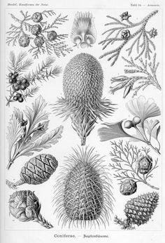 Araucaria brasiliana; Picea excelsa; Abies bracteata; Chamaecyparis obtusa; Thujopsis dolabrata; Juniperus communis; Libocedrus decurrens; Phyllocladus rhomboidalis; Ginkgo biloba; Sequoia gigantea; Cupressus sempervirens; Taxodium distichum; Pinus serotina
