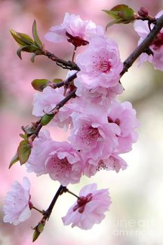 Plum blossoms by Frank Townsley - Flores