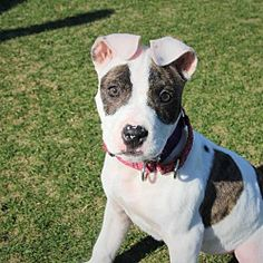 Pictures of Topsey a female Pit Bull Terrier for adoption Long Way Home Animal Rescue, College Station, TX who needs a loving home.