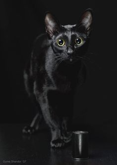 """""""A black cat crossing your path signifies that the animal is going somewhere."""" --Groucho Marx"""