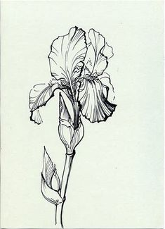 Image result for line drawings of irises