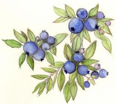 blueberries drawing | Blueberry, Drawing by Cindy Robbins 2002