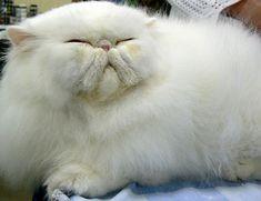 Beautiful White Persian Cat #persiancatkitty #persiancatwhite