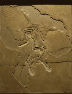 The fossil link between birds and dinosaurs, called Archeopteryx. Living 150 million years ago, feathers are clearly visible along forelimbs and tail. Feather evolved for insulation purposes not flight, as they are more insulating than both hair and scales. All of these and more including fingernails, claws, hoofs, and rhino horns are made from keratin.