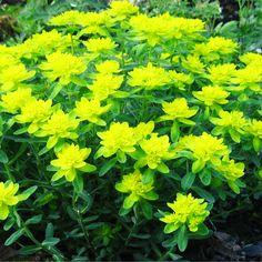 Молочай или эуфорбия (Euphorbia) – это самый обширный и известный род семейства молочайных (Euphorbiaceae). Он насчитывает до 2000 видов совершенно разных, не похожих друг на друга растения. Молочаи широко распространены в тропических, субтропических и умеренных областях земного шара.