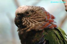 Red-fan Parrot (Deroptyus accipitrinus) Portrait of an adult.