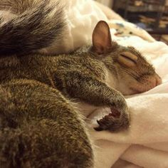 Sleeping squirrel in cozy human bed.