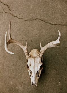 White Tailed Deer skull and antlers Bull Skulls, Deer Skulls, Cow Skull, Animal Skulls, Skull Art, Animal Bones, The Secret History, Skull And Bones, Macabre