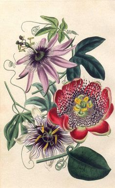 Flower Drawings passiflora - The free vintage flowers in this large collection come from an assortment of eras and are in various styles and formats, including clip art; and antique seed packets, catalog covers and ads. Vintage Botanical Prints, Botanical Drawings, Flower Drawings, Plant Illustration, Botanical Illustration, Botanical Flowers, Botanical Art, Vintage Drawing, Vintage Art