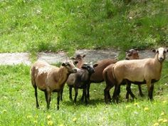 The Cameroon sheep, two ewes and three cubs