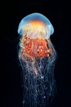 Cyanea Capillata from the Sea of Okhotsk (by Alexander Semenov) Lion's Mane Jellyfish, Jellyfish Tank, Jellyfish Drawing, Jellyfish Aquarium, Jellyfish Painting, Jellyfish Quotes, Jellyfish Facts, Jellyfish Tattoo, Watercolor Jellyfish