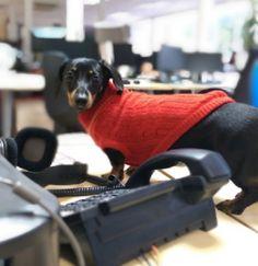 Peggy at her desk #OfficeDog #Dachshund