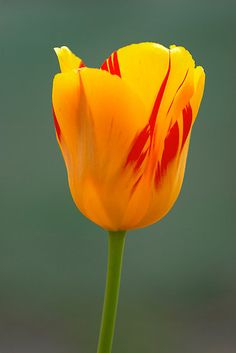 'Olympic Flame' Tulip~I have these in my front yard and look forward to seeing them every spring.