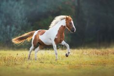 Some Beautiful Images, Most Beautiful Horses, Animals Beautiful, Beautiful Creatures, Barrel Racing Saddles, Barrel Racing Horses, Horse Halters, Horse Saddles, Horse Girl