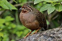 Jungle Bush-Quail (Perdicula asiatica)