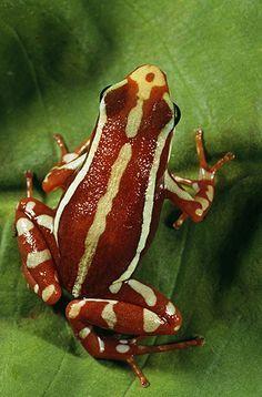 Phantasmal Poison Arrow Frog, Epipedobates tricolor