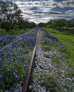 Bluebonnets along abandoned railroad tracks in Llano County, Texas.