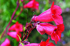 Penstemon: Low Maintenance Perennial