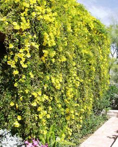 Macfadyena unguis-cati in bloom,  aka Cats claw vine, Yellow trumpet vine  good choice for hot walls
