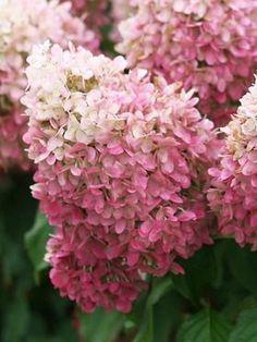 Hydrangea Pillow Talk | Flowers | Pinterest | Hydrangeas, Pillows ...
