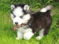 Siberian Husky puppy found a dried leaf.  He looks so proud of himself!