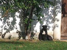 Zezé meditando ao sol...    Canil Thorgara Bull's Especializado em Buldogue Campeiro e Bull Terrier Itaipuaçu - RJ - Brasil