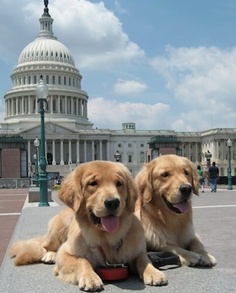 Golden Retrievers in front of the Capitol.