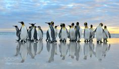 King Penguins by ElmarWeiss via http://ift.tt/2u1yOZj