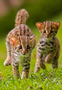 Leopard stars kits. Dot kit and stripe kit