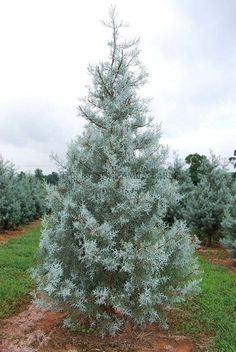 Buy Flowers Online Same Day Delivery Arizona Blue Ice Cypress - Super Fast Growing Tree. Screen Plants, Privacy Plants, Privacy Landscaping, Outdoor Landscaping, Outdoor Gardens, Landscaping Edging, Evergreen Trees For Privacy, Evergreen Garden, Trees And Shrubs