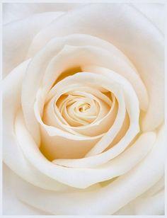 Symptahy-Cream Roses