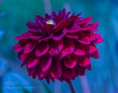 Dahlie ball by monorigabor60