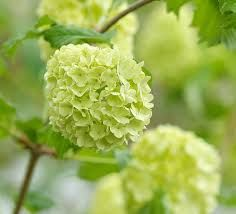 viburnum single women Discover recipes, home ideas, style inspiration and other ideas to try.