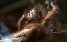 Female orangutan baby 'Surya' rests in its enclosure in the Rostock Zoo, Germany