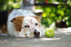 Tennisbälle sind kein optimales Hundespielzeug. Warum das so ist, erfährst Du hier.