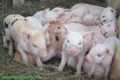Great website on raising pigs. Not sure if we'll ever do this but interesting reading.