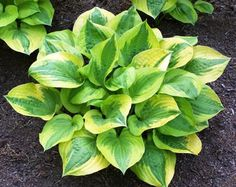 Summer Breeze Hosta from NH Hostas