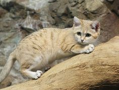 Sand Cat on the Hunt
