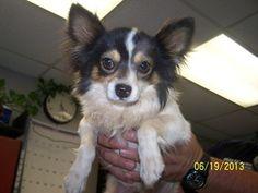 Petfinder Adoptable Dog | Chihuahua | Nogales, AZ | 54604