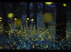 Amazing firefly photos.