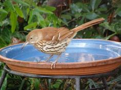 Brown Thrasher  from Great Backyard Bird Count by Rene Wilbur