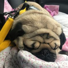 It was a busy day with lots and lots of cuddles. I crashed out on the way home and a wrinkle tsunami overtook my face!!! Why don't we go surfing in dreamie land tonight??! 🌊🏄🏼🏄🏼♀️🏄🏼🌊Godnat, my special big brother Joey @joeyandgittewest4, Arnie @arniespuglife, Frank and Stan @frank_and_stan_rule_the_world Carlos and Pablo @miss.carlino_and.pugs, Alfie and Suzie @themacpugs, Alphie and Teddy @alphie.and.teddy.pug, Doug @dougthepugtherapydog and Edd and Vinny @eddthepug…