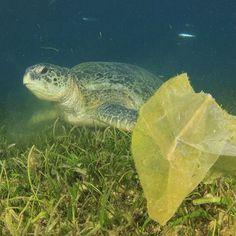 Tartarugas adoram comer águas-vivas. Por isso é tão perigoso para elas quando jogamos uma sacola plástica fora. Estes animais não sabem diferenciar o que é uma água-viva e o que é uma sacola. Debaixo d'água fica tudo igual e as tartarugas acabam comendo plástico. Lembre-se disso ao descartar seu lixo: proteja as tartarugas e os outros animais marinhos, proteja os oceanos! 🐢 #BiologiaTotal #ProfJubilut © Shutterstock | Rich Carey www.biologiatotal.com.br