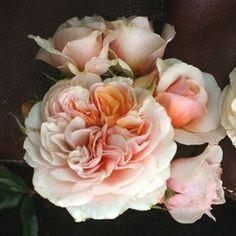 ROSIER GENEROSA® 'XAVIER DE FRAYSSINETTE®' - Très remontant, parfumé, résistant. De superbes bouquets de roses pour tout l'été.