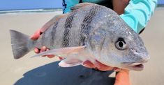 How To Make Crab Knuckles To Catch Pompano, Redfish, & Black Drum Best Fishing, Kayak Fishing, Fishing Tips, The Bait, Fishing Report, Fishing Videos, Red Fish, Saltwater Fishing, Drum